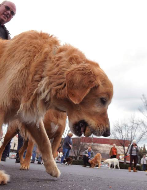 A golden retriever's vigilance pays off while scarfing down an entire pasty that rolled too far from the flag.