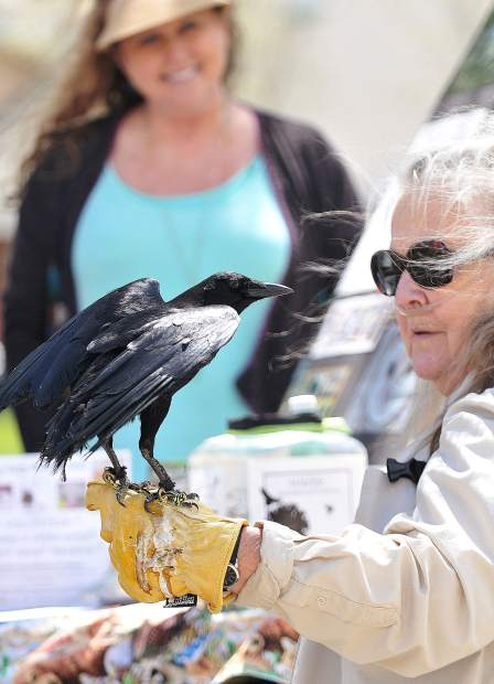 Wildlife Rehabilitation and Release's Laurel Gunderson holds an American Crow named Sir Winston Churchill during Thursday's Earth Day celebration at Sierra College in Grass Valley. The college held an informational fair with booths from various local organizations including the Audubon Society, Grass Valley Cross Fit, Briar Patch Co-Op, Tobacco Use Prevention and Education, and the Eco's club to name a few.