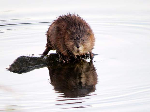 A muskrat sitting on a rock at Lake of the Pines.