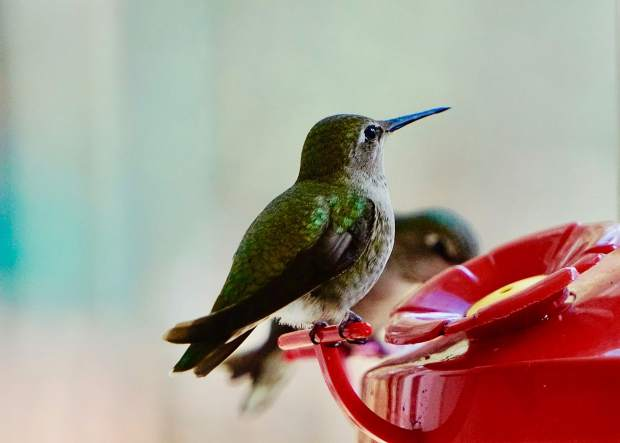 Photo taken from a kitchen window of a hummingbird at the feeder.