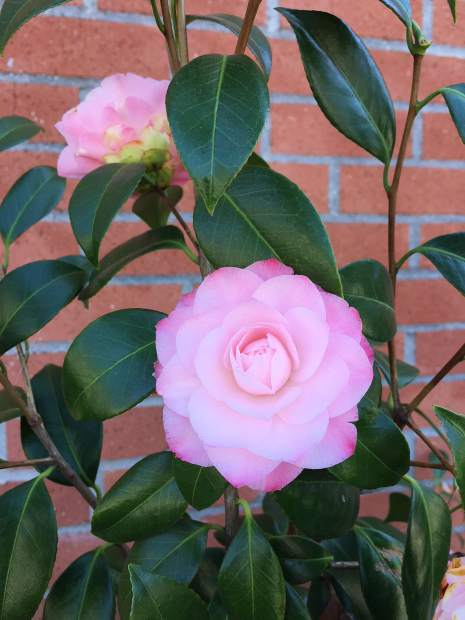 Camellias outside the Nevada City Post Office.