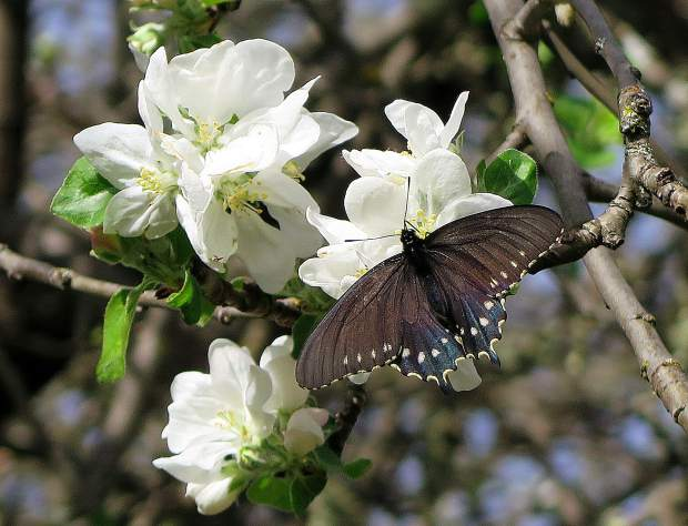 Pipevine Swallowtail on a Plum blossom near the Visitor Center at Bridgeport.