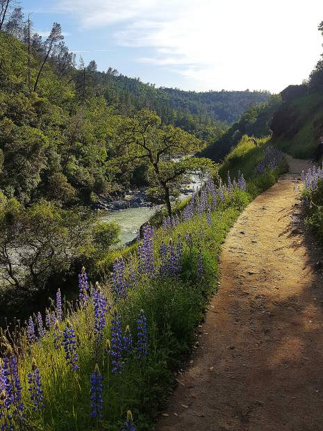 Lupine along the Buttermilk Bend Trail at the South Yuba River access area at Bridgeport State Park.