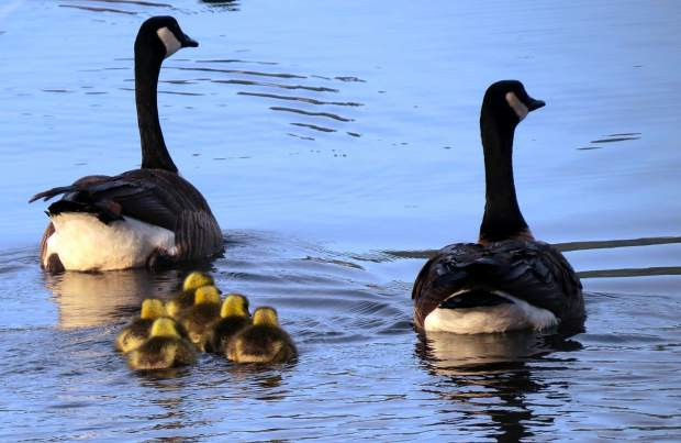 A family of geese at the Lake of the Pines.