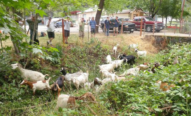 Goats make quick work of the vegetation bordering Magenta Drain in Grass Valley's memorial park. Environmental regulations prohibit the use of gasoline engines near the water way, so goats are utilized as an organic option.