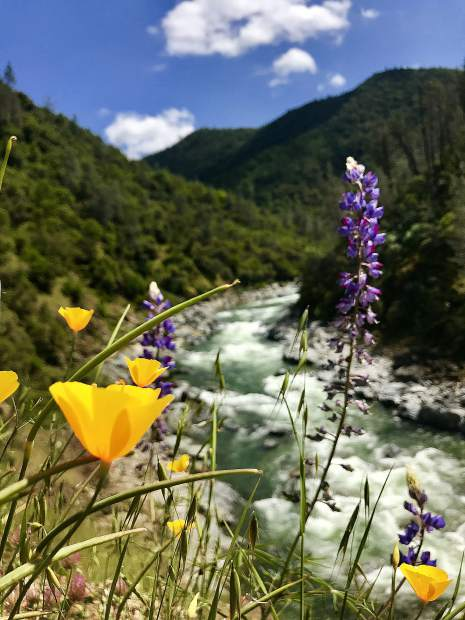 Lupine and poppies and the South Yuba River.
