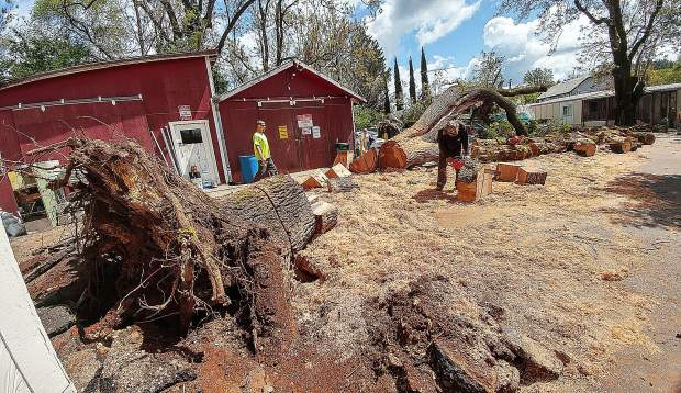 The oak tree was estimated at around 500 years old. According to the Magliocca's, the managers had said that the tree was safe. A few days after this tree fell, the tree removal company was back at Creekside Village to remove another old oak tree that was leaning over the management's mobile home.