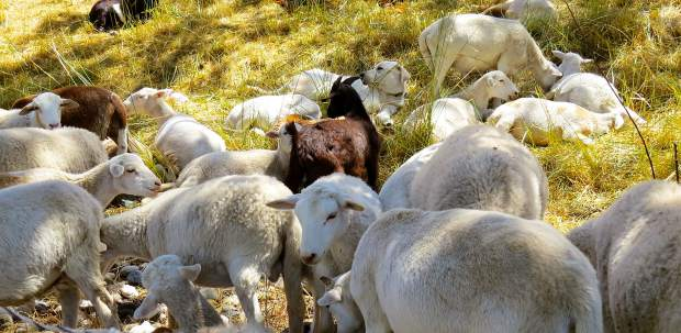 These goats were hired by Lake of the Pines to eat the tall grass on the hill. The dog is taking care of them.