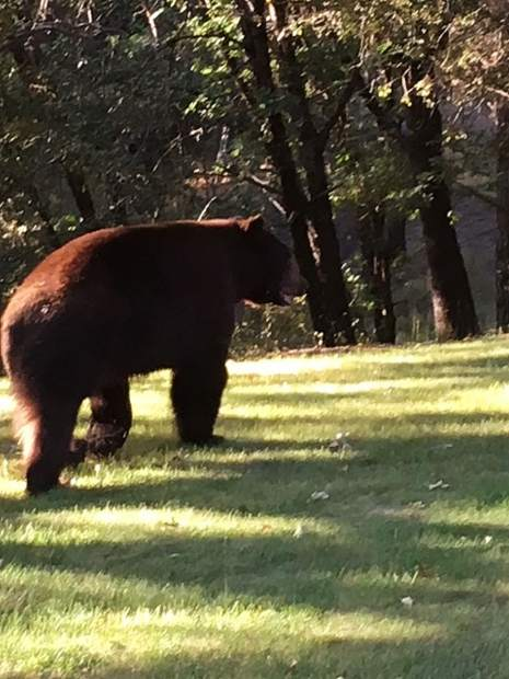 This was a very large bear strolling through a local yard.