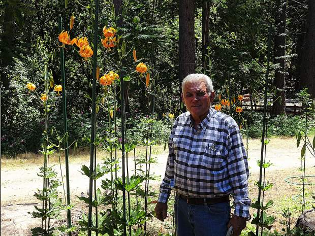 Ken Holbrook cares for this local endangered wild Tiger Lilies, alsno known as a Humboldt Lily.