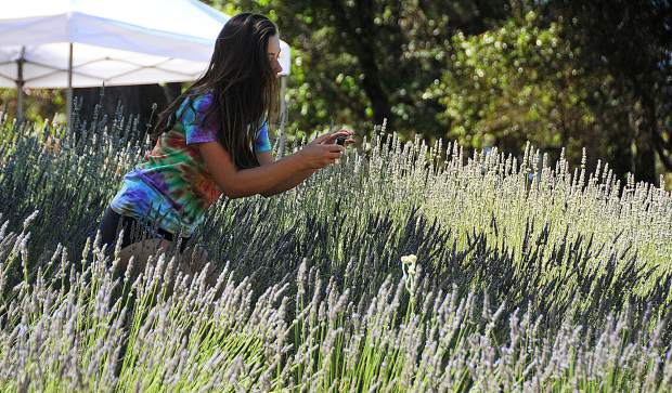 A farm trail attendee takes a photo of the fields at Tres Jolie Lavender Farm near the Lake of the Pines area of Nevada County.
