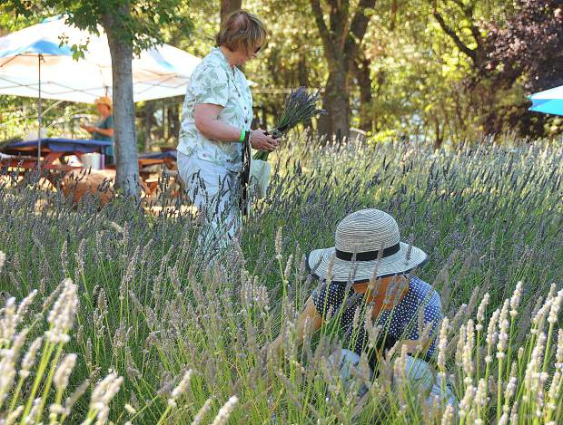 Ann Adams and Pat Uhlmann pick fresh lavender from Tres Jolie Lavender Farm, one of the 12 Nevada County Farms on display during the inaugural Nevada County Farm Trail Weekend, a fundraiser for the non-profit Nevada County Grown.