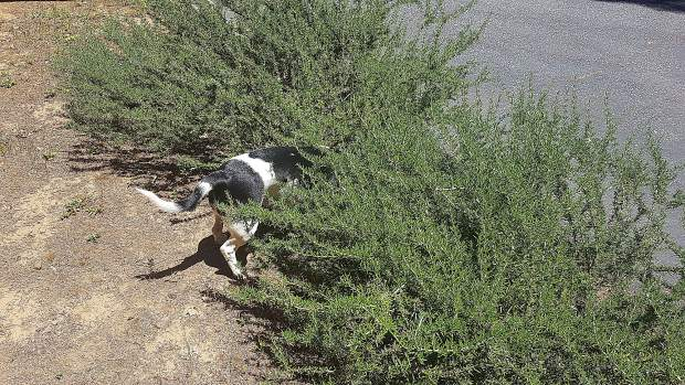 A local dog hunting lizards in a bush.