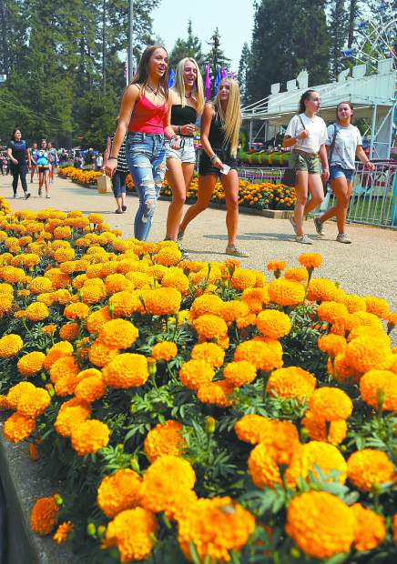 The marigolds are blooming along the Gold Path, the rides are set up, Treat Street is cooking, and the arena is roaring once again, which means one thing — It's fair time again at the Nevada County Fairgrounds.