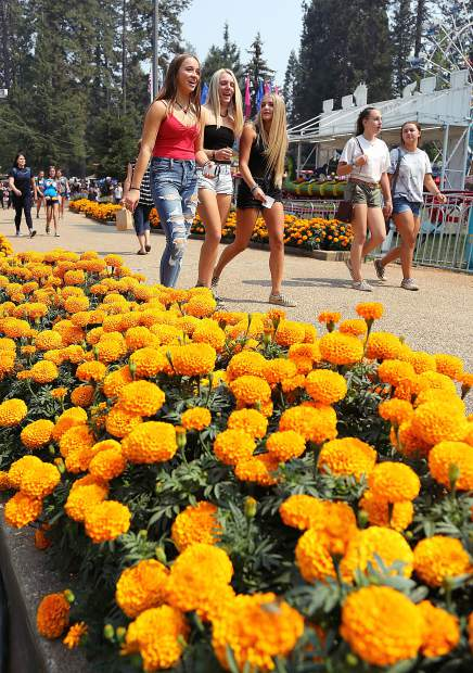 The marigolds are blooming along the Gold Path, the rides are set up, Treat Street is cooking and the arena is roaring once again, which means one thing — it's fair time again at the Nevada County Fairgrounds.