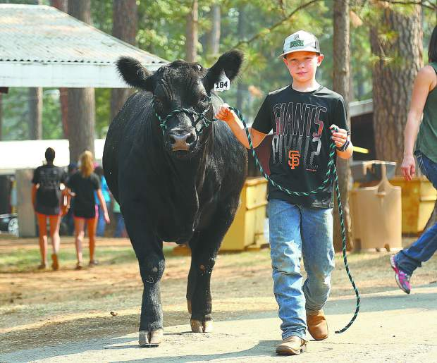 Ten year old Myles Fischer from the Meadowlark 4-H, leads his mixed steer to the washing station Tuesday in preparation of the Nevada County Fair.