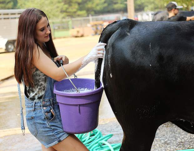 Nevada Union High School FFA's Kyerstan Raymond washes her black angus steer named Henry with a combination of mouthwash, shampoo, conditioner, light vinegar, and water during Tuesday's fair preparations.