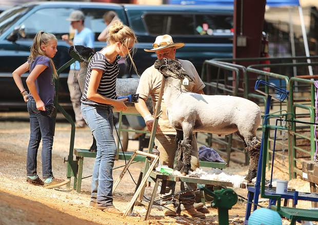 Hillary Warmuth and Joe Lester from Penn Valley 4-H work on shearing Warmuth's sheep Tuesday afternoon at the Nevada County Fairgrounds.