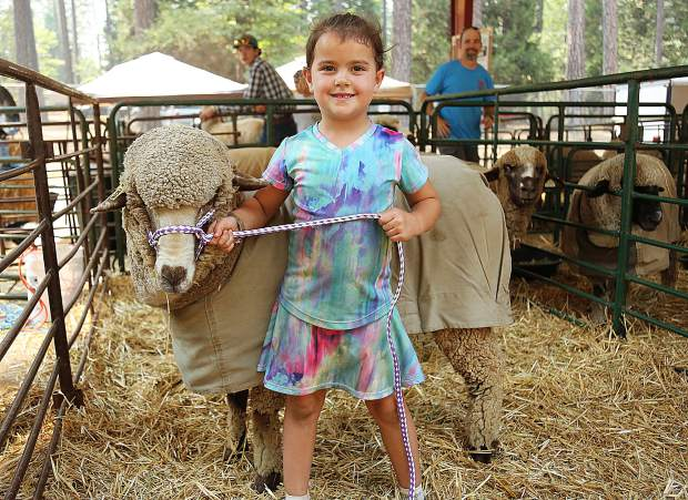 Loma Rica's Elora Marks (5) shows off her purebred Merino sheep named Twilight, Tuesday afternoon at the Nevada County Fairgrounds where she and many others are primping their animals in preparation for the annual 5 day run of the Nevada County Fair, which begins today and wraps up Sunday evening.