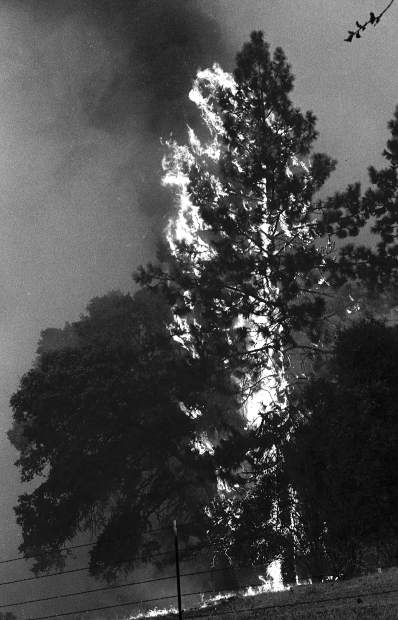 A tree goes up in flames during the 49er Fire.