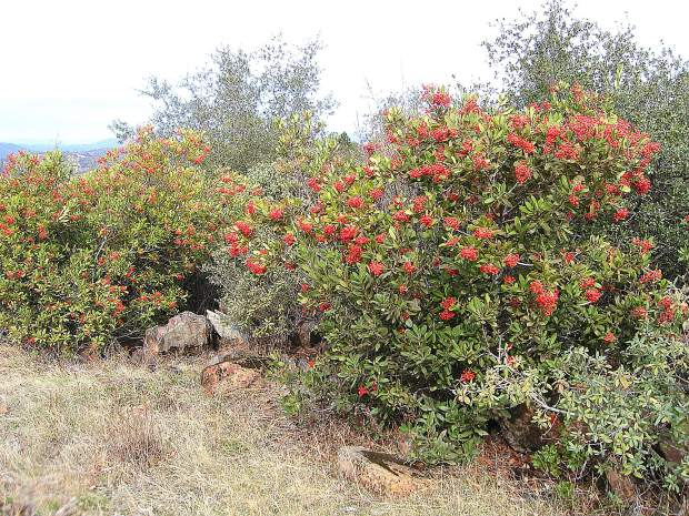 Toyon is a drought-tolerant native shrub that is also deer resistant.
