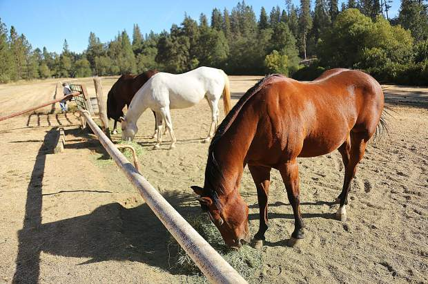 Some of the horses of the Diamond F Ranch are fed right next to the race track where thoroughbreds were trained for racing.