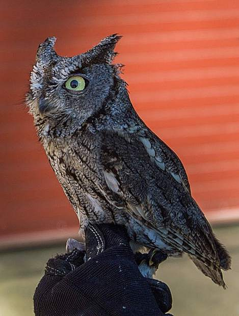A western screech-owl, Kajika, is scheduled to join two other birds at Wild Birds Unlimited on Saturday.