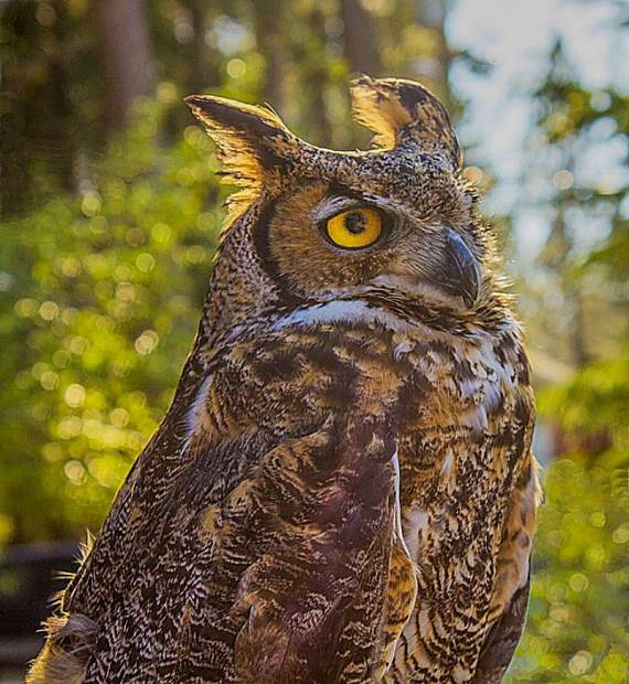 Chester the great-horned owl will also be in attendence Saturday.