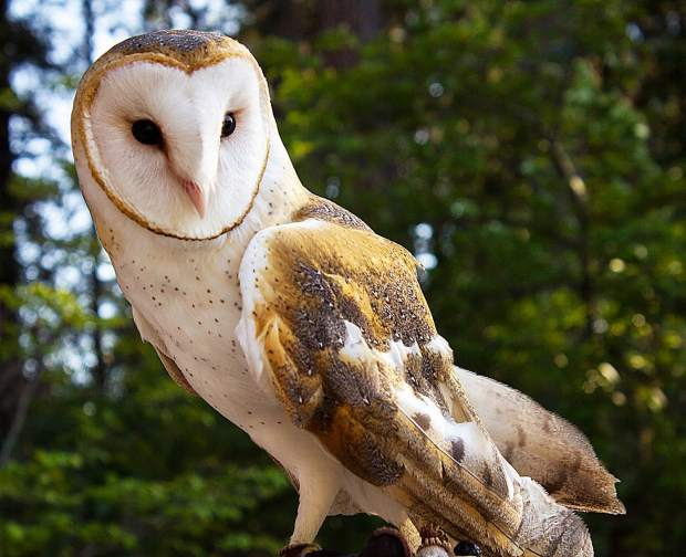 Steamer the barn owl will be available to interact with during Saturday's fundraiser for Wildlife Rehabilitation and Release.