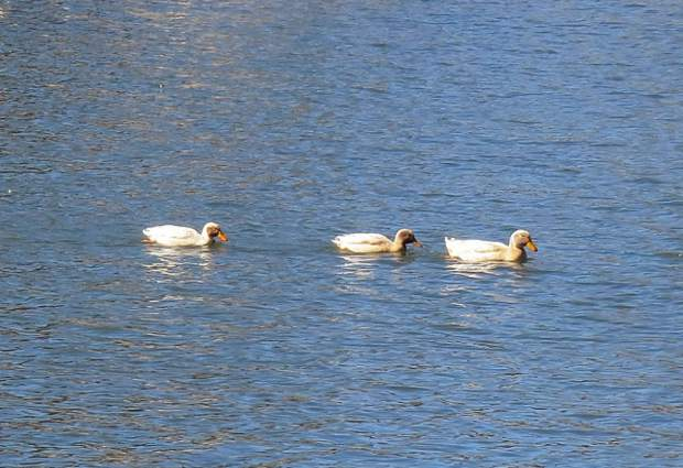 Three white ducks who stay together in Lake of the Pines.