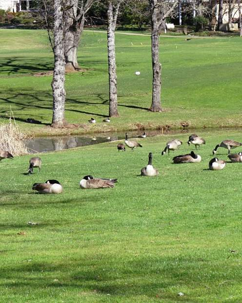 Geese waiting for the golf balls to start coming at Lake of the Pines.