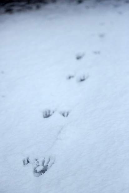 The tracks of a raccoon make their way along the Miners Trail in Nevada City following Wednesday evening's snowfall.