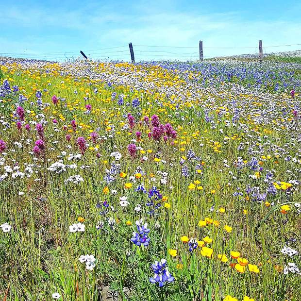 The flowers in bloom atop Table Mountain, near Oroville, make for a scenic and photo-worthy hike.
