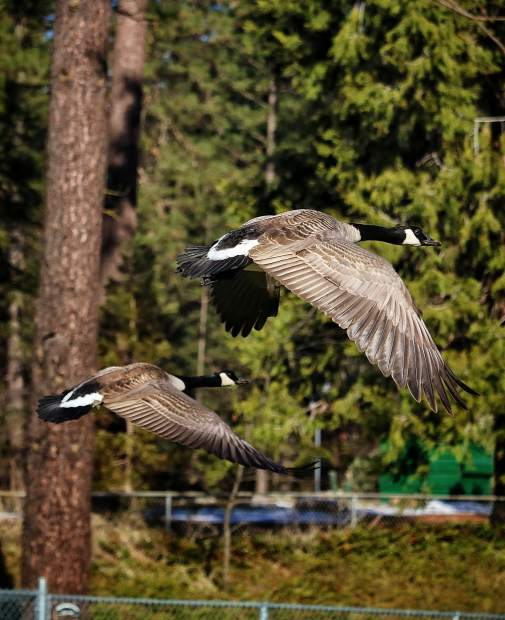 Canadian geese take flight at Condon Park in Grass Valley.