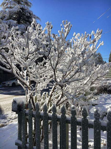 Snow collected on a local bush.
