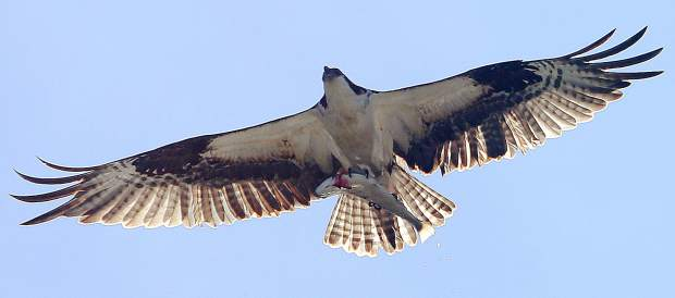 An osprey wows the crowds of the trout derby after pulling away with a trout of its own.