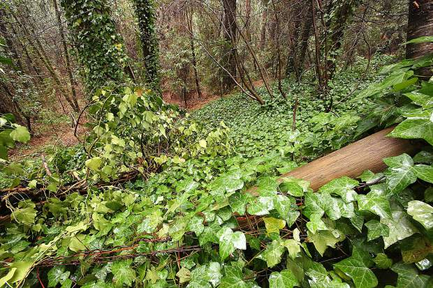 Mary McClain's rear property line fence is barely visible through a thick blanket of ivy that has crept from neighboring Empire Mine State Historic Park and into her backyard on Gold Hill.