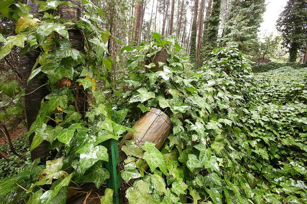 Mary McClain's rear property line fence is barely visible through a thick blanket of ivy that has crept from neighboring Empire Mine State Historic Park into her backyard on Gold Hill.
