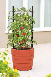 Simple strategies for a larger tomato harvest this year