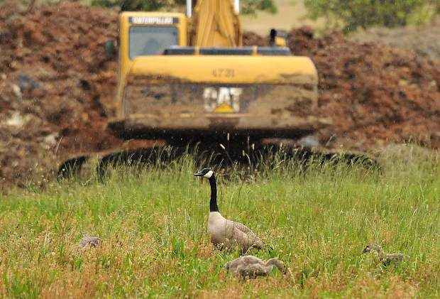 A Canada Goose and her goslings navigate the area surrounding the Lions Lake construction zone Wednesday.
