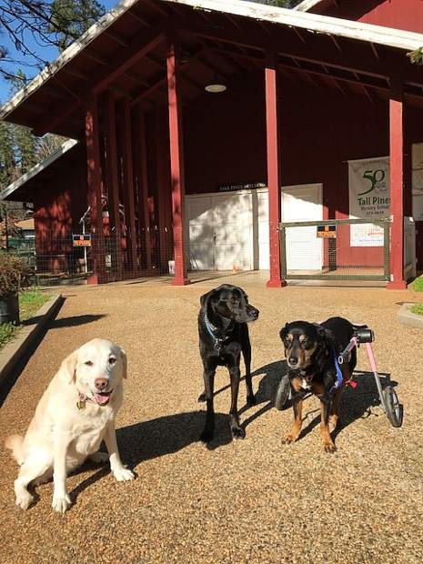 New students Darla, Buddy and Missy enroll at Tall Pines Nursery School at the Nevada County Fairgrounds.