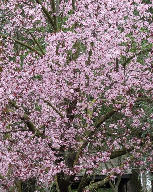 These beautiful blossom trees will not last too much longer at Lake of he Pines.