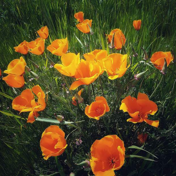 The California Poppies are popping out everywhere.