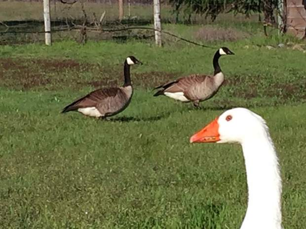 GiGi the Goose shares the morning with his Canadian friends.