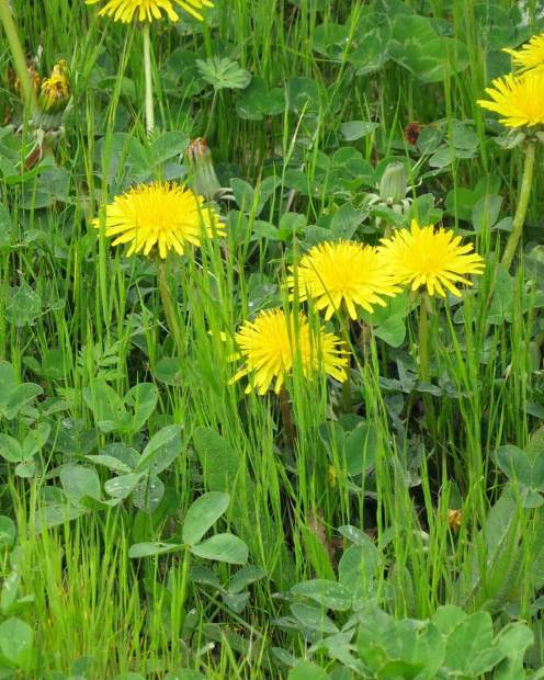 Dandelions growing in the high grass at Lake of the Pines.