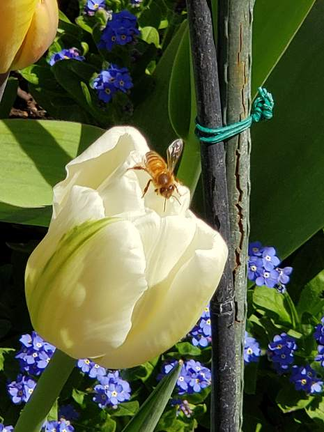 A bee grabs a snack on one of the many tulips at Ananda Village on Saturday, April 13.