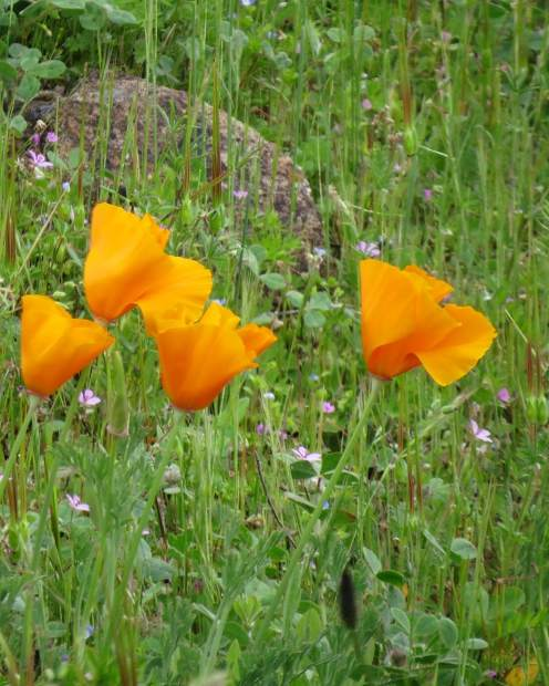Pretty poppies across from the pond where you enter Lake of he Pines.
