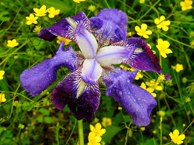Blooming iris in Nevada County.