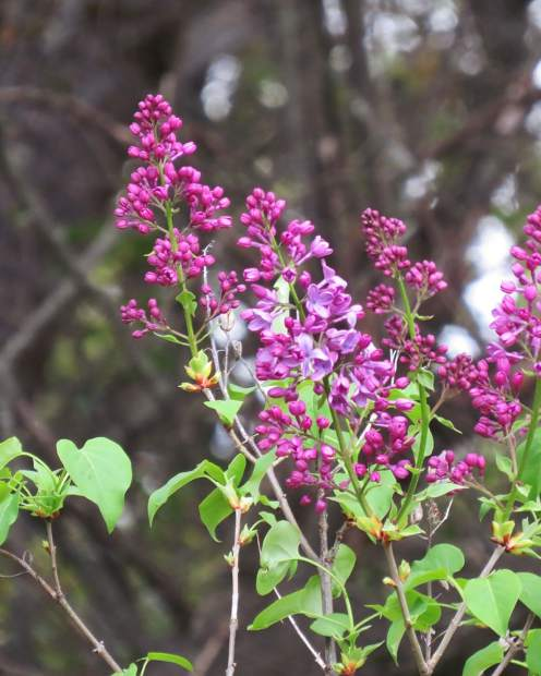 A pretty bush of Lilacs here at Lake of the Pines.