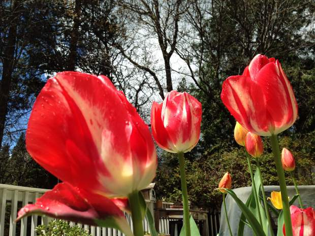 Tulips in Grass Valley.